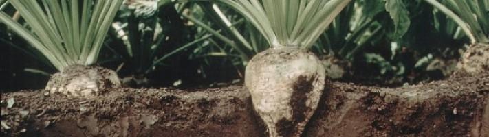 sugarbeet in ground (Royal Cosun)